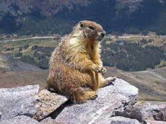 A big fat Alps Marmot on a rock after which the cycling event is named – there's loads of them!